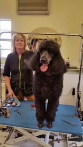 poodle-alpine-texas-pet-grooming
